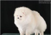 פומרניין גזעי - פומרניאן לבן